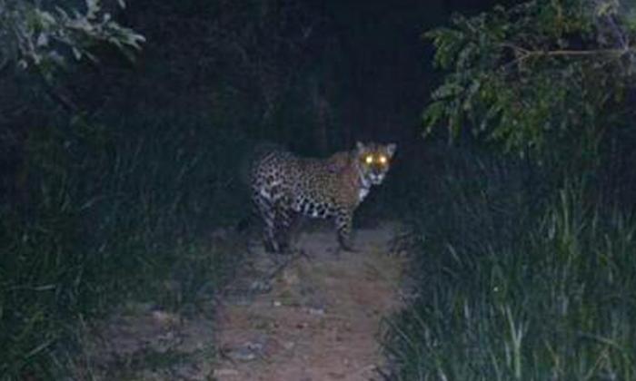 Corpamag pide a comunidad de Sierra Nevada proteger al puma y el jaguar