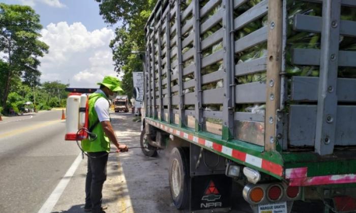 """Bananeros dicen que no  """"bajan guardia"""" para frenar plaga que afecta los cultivos"""