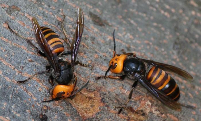 ¿Podría el avispón gigante asiático llegar a Colombia?