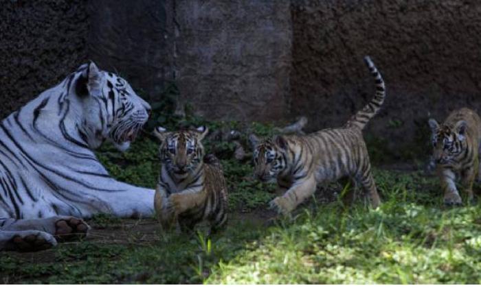 Un grupo de cachorros de tigres de bengala junto a un tigre blanco.