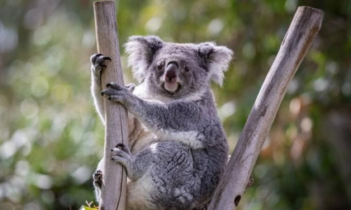Además de los incendios forestales los koalas ya afrontaban una difícil situación por los periodos de fuertes sequías y la fragmentación de sus hábitats por el desarrollo humano.