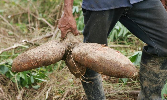 El ICA descarta daños graves en cultivos de yuca en Montes de María