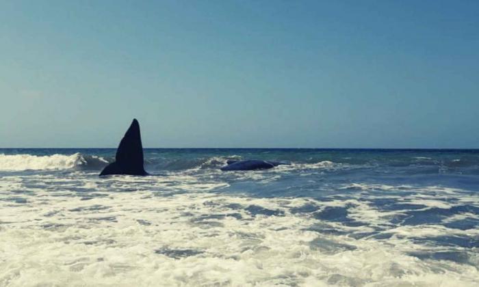Cetáceo muere encallado en playas de Puerto Escondido, Córdoba