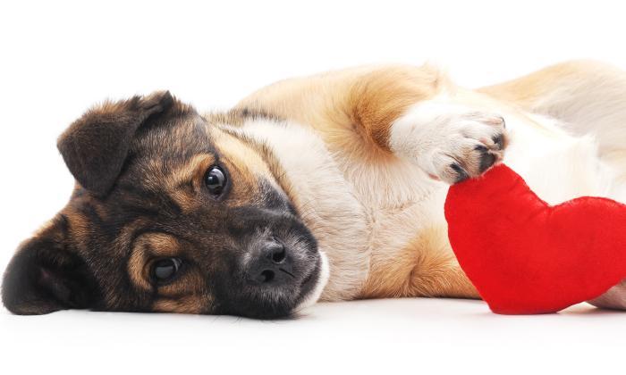¡Cuidado!: su perro también puede sufrir del corazón