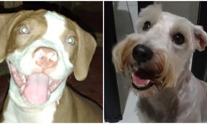 Mascotas Wasapea | 'Milla' y 'Akira' son buscadas por sus dueños