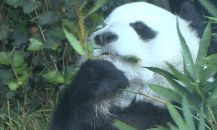 En video | Estas son las dos osas pandas más longevas de Latinoamérica