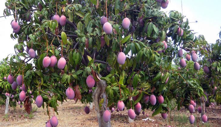 El mango es uno de los principales potenciales para exportación, con miras a la reactivación de la agricultura.