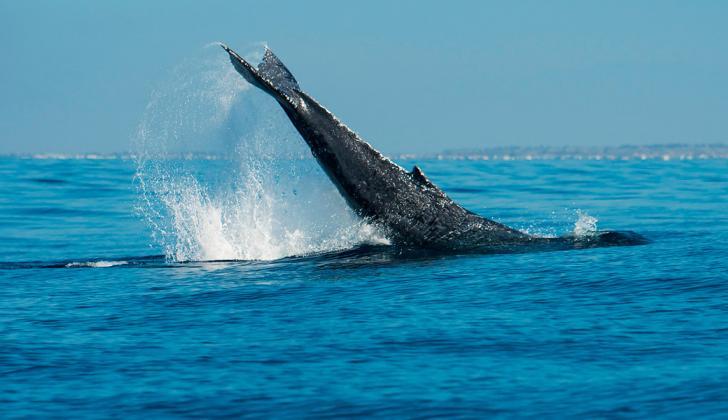Imagen de una ballena jorobada.