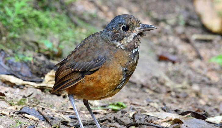 Tororoi Bigotudo, nueva ave registrada en la jornada de observación.
