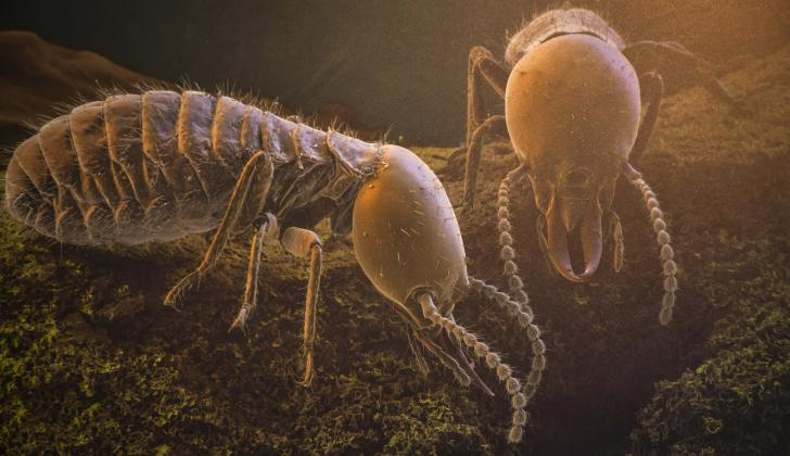 Imagen de Robin Casalla  del comején o termita de madera (Coptotermes testaceus).