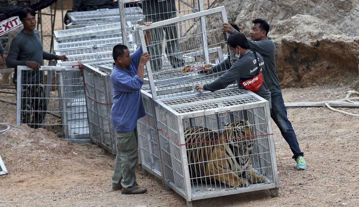 Funcionarios de vida silvestre usan un túnel de jaulas para capturar un tigre y sacarlo de un recinto.
