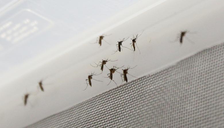 El Zika reduce la fertilidad y la testosterona en ratones, según estudio