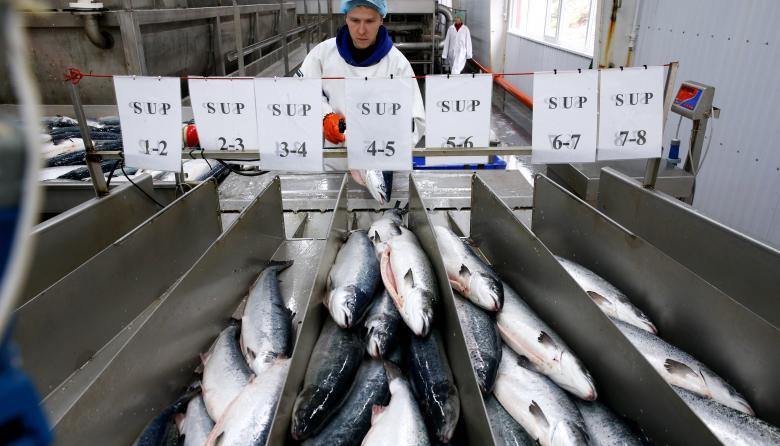 Ecologistas canadienses preocupados por la llegada del salmón transgénico