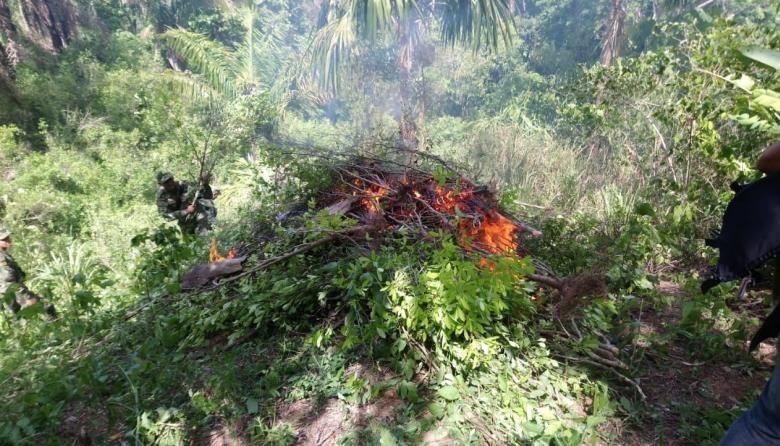 Destruyen cultivo de coca en La Guajira
