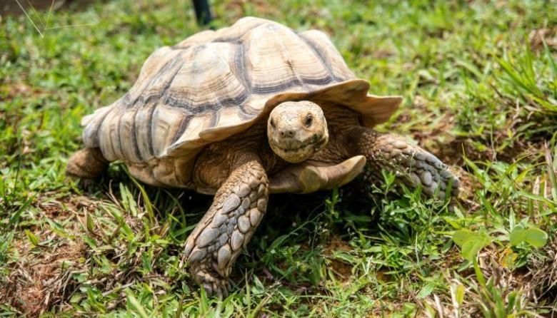 Al borde de la extinción, tortugas luchan por sobrevivir en Singapur