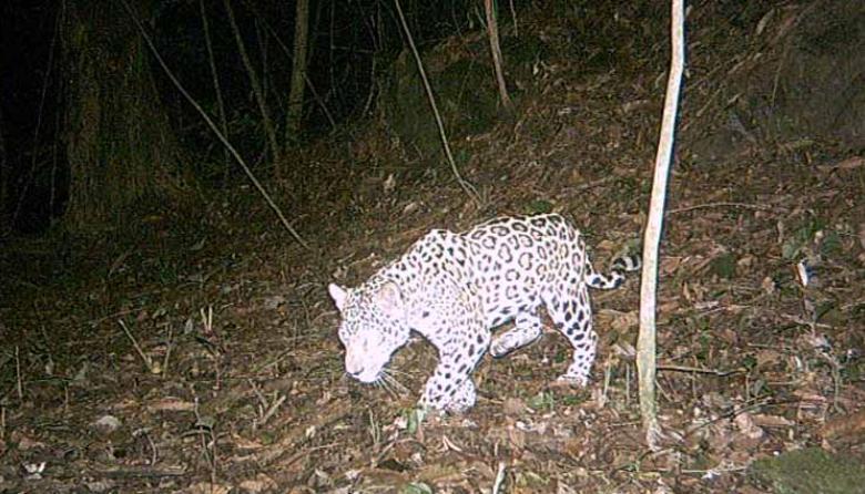 El jaguar, un grande en búsqueda de protección