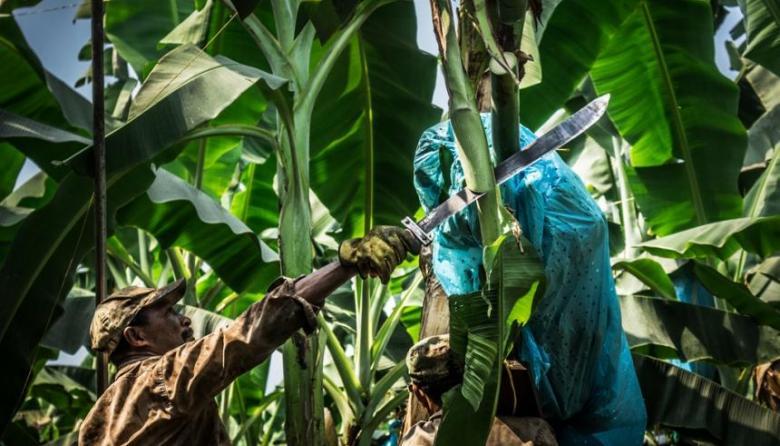 Por posible hongo, en cuarentena 100 hectáreas de banano en La Guajira