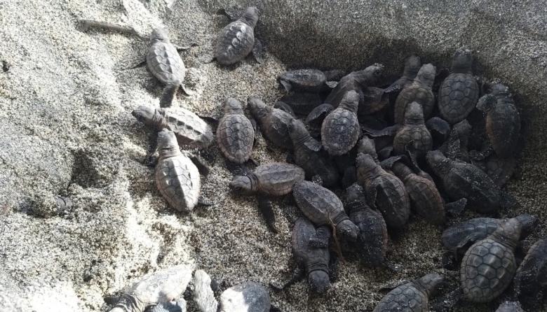 Nacieron 105 tortugas en el Parque Tayrona