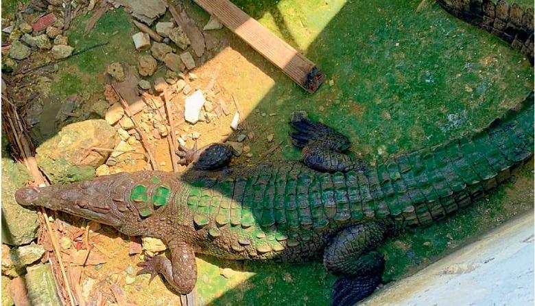 En video | Regresó a casa 'Coco', el caimán viajero
