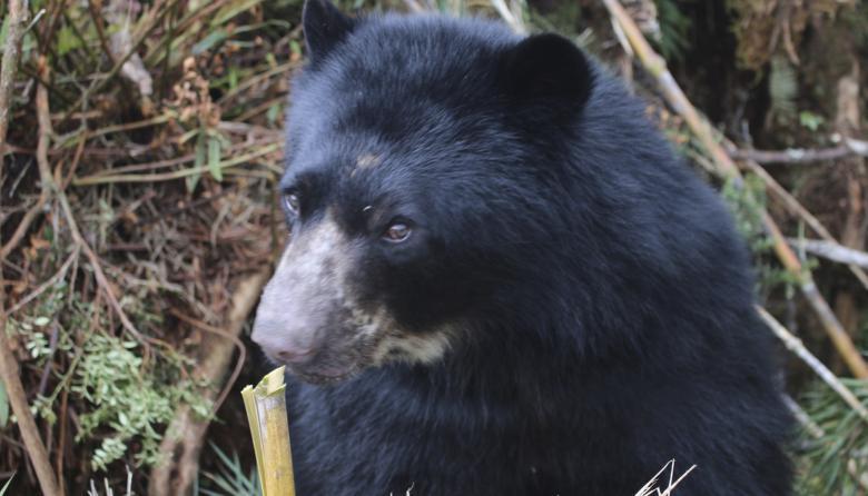 Primer carnaval en Colombia para proteger a los osos de anteojos