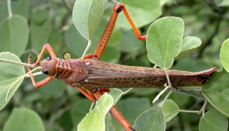 Especie de Saltamontes o langosta ataca cultivos en La Guajira
