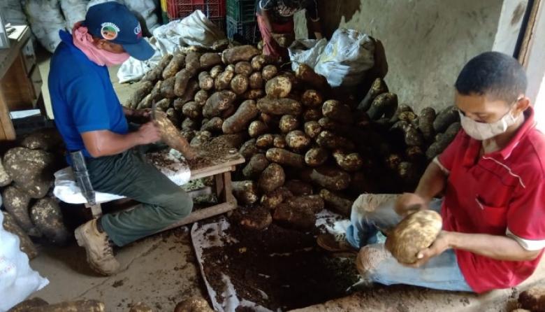 Super producción de ñame, yuca y maíz: Montes de María clama ayuda