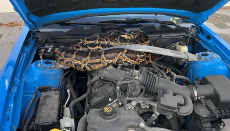 Cree que su auto se averió, abre el capó y hay una pitón de 3 metros