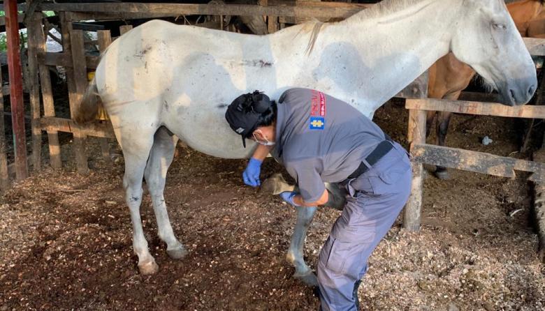 Investigan la muerte de 12 caballos usados en coches turísticos en Cartagena
