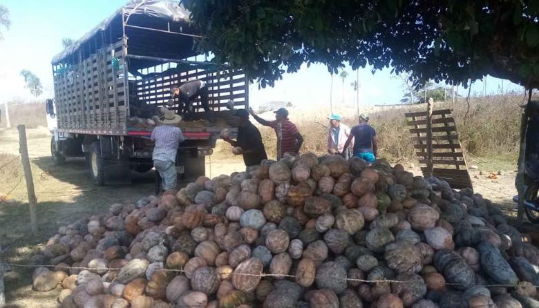 Productores de ahuyama aportan a la reactivación económica en Montería