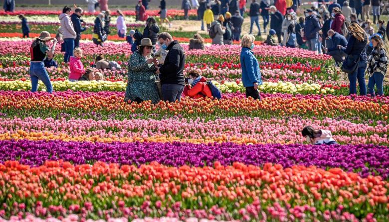 El colorido de los tulipanes alemanes
