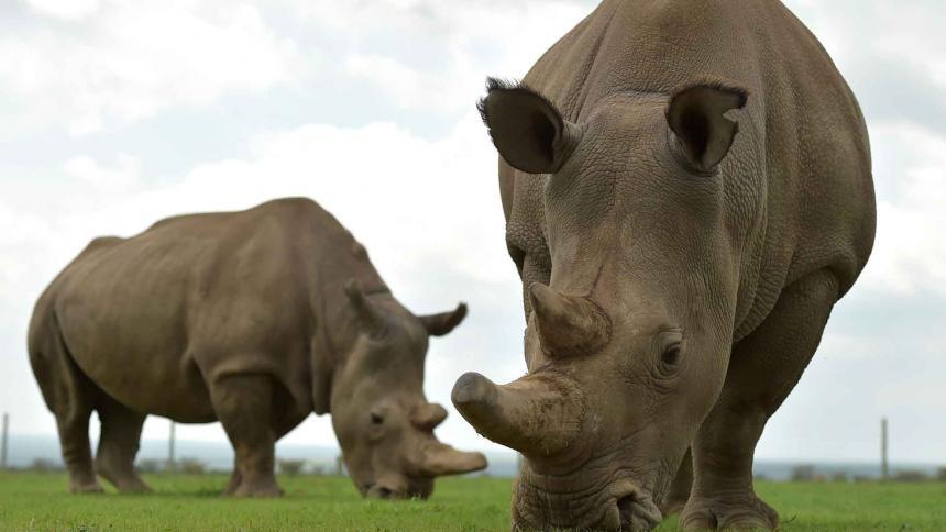 Crean dos embriones para salvar de la extinción al rinoceronte blanco del Norte