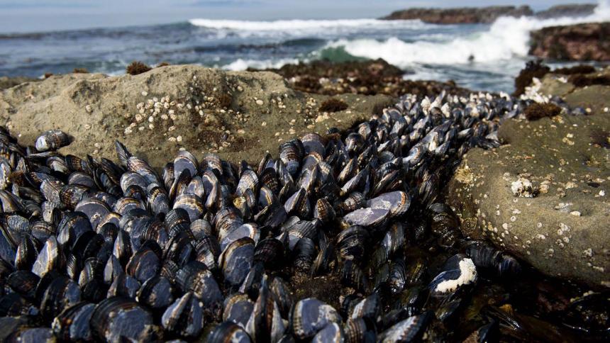 Estudio revela que transporte marítimo propagó cáncer infeccioso a mejillones