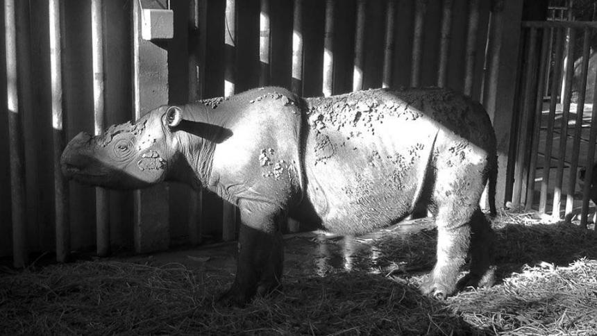 Murió el último rinoceronte de Sumatra que restaba en Malasia