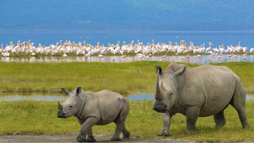 Dos ejemplares de rinoceronte blanco sureño (Imagen de referencia).