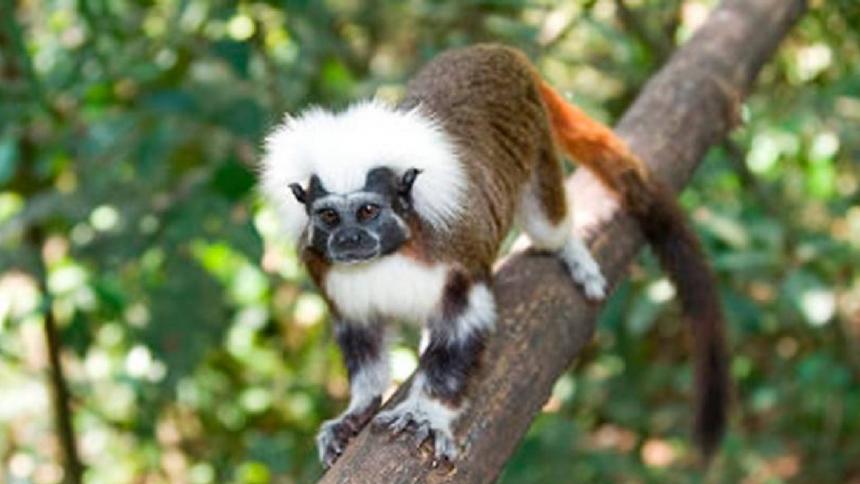 Ejemplar de mono tití cabeciblanca.