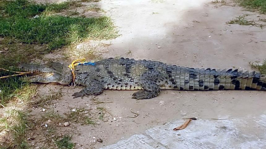 ¡Tremendo susto! Comunidad encontró un caimán en el barrio El Pueblo