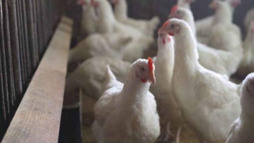Mueren casi 50.000 aves de corral en Senegal por un brote de gripe aviar
