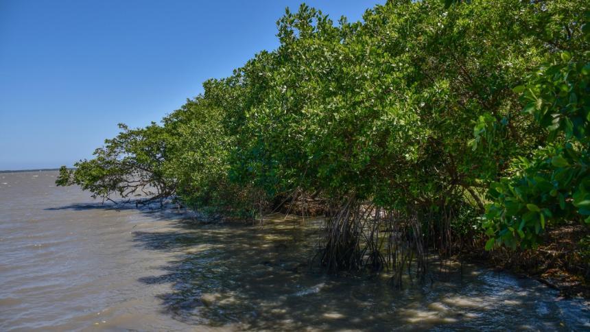 Los manglares son utilizados por los peces para resguardarse y reproducirse.