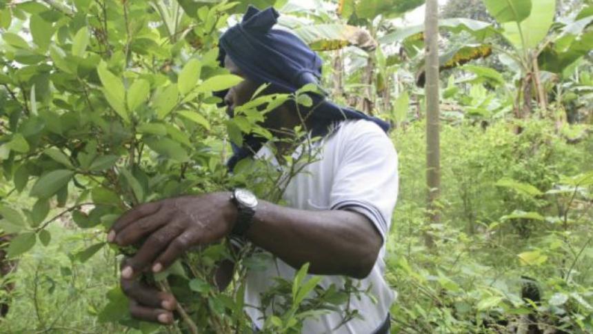 ¿Glifosato o sustitución frente a los cultivos de coca en el país?
