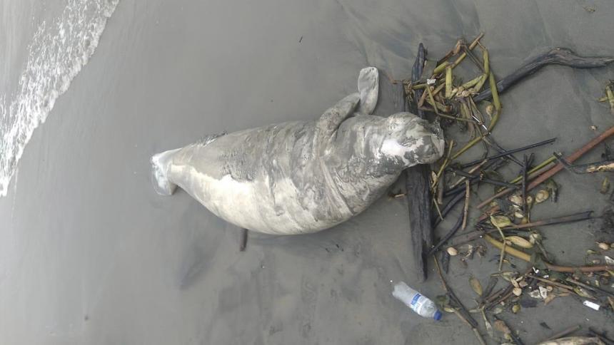Encuentran manatí muerto en Playa Mendoza, Tubará