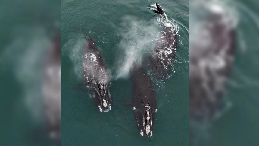 "Video muestra a dos ballenas en peligro de extinción ""abrazándose"""