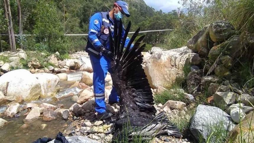 Encuentran dos cóndores muertos por presunto envenenamiento en Santander
