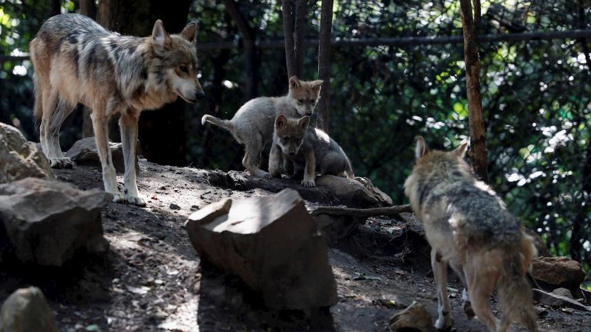 Nacen cachorros de lobo mexicano considerado extinta en el medio silvestre