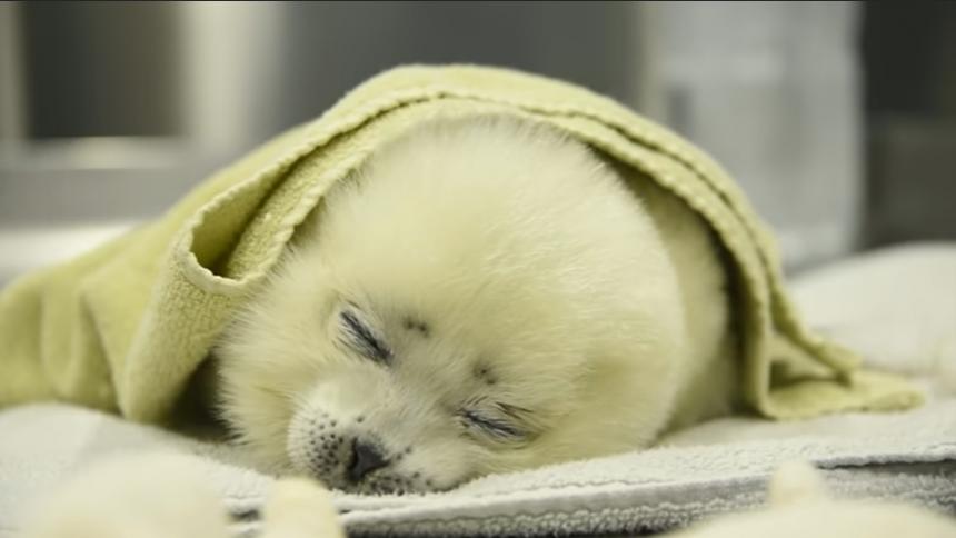 Trabajadores de un acuario rescatan una foca bebé y le enseñan a nadar
