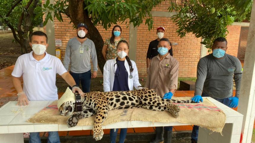 Liberan un jaguar en reservas naturales del departamento del Cesar