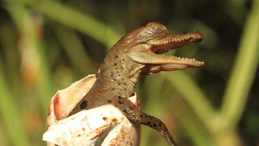 Nacieron los primeros caimanes aguja en el Centro de Fauna de Cerrejón