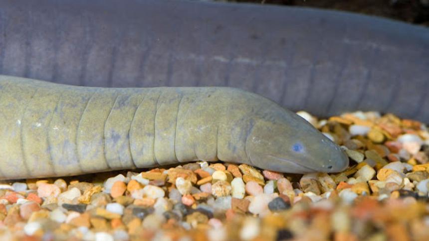 Hallan en un canal de Florida un anfibio nativo de Colombia y Venezuela