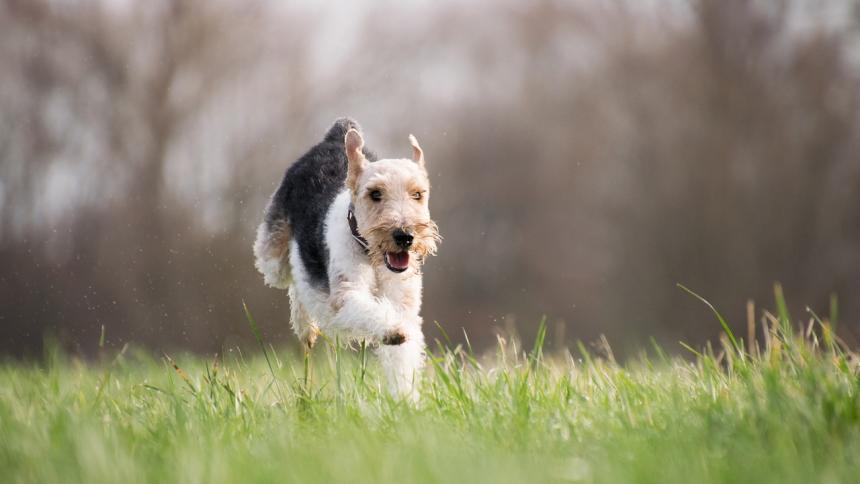 Pablo, el perro que se perdió y recorrió 380 kilómetros para llegar a su casa