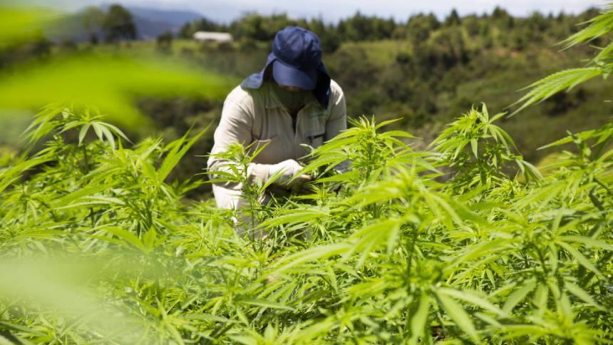 Las oportunidades del cannabis para impulsar la economía colombiana