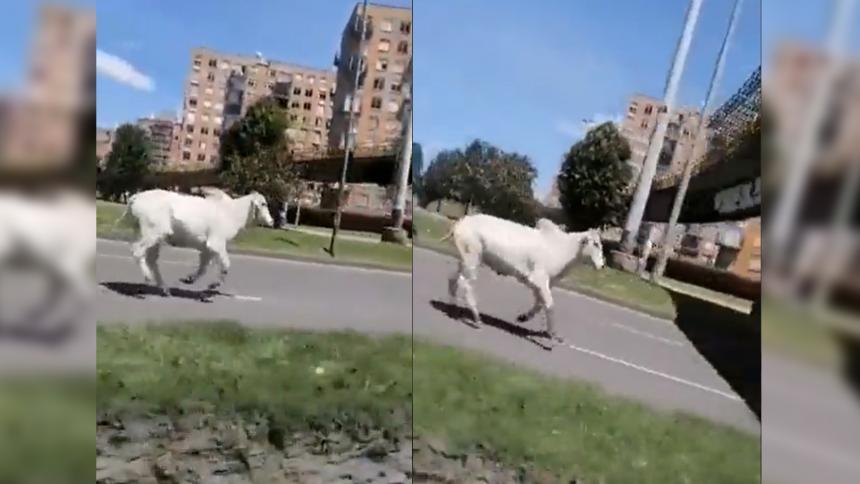 Curioso escape de una vaca que iba hacia el matadero en Bogotá